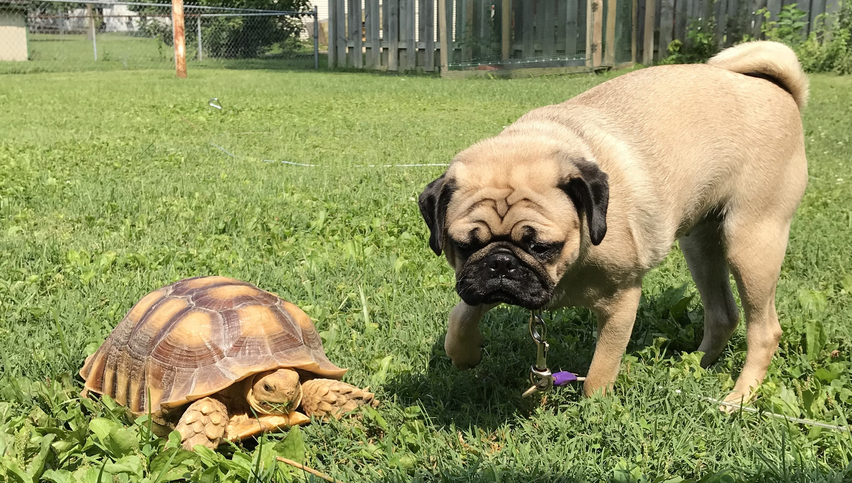 Tortoise and dog