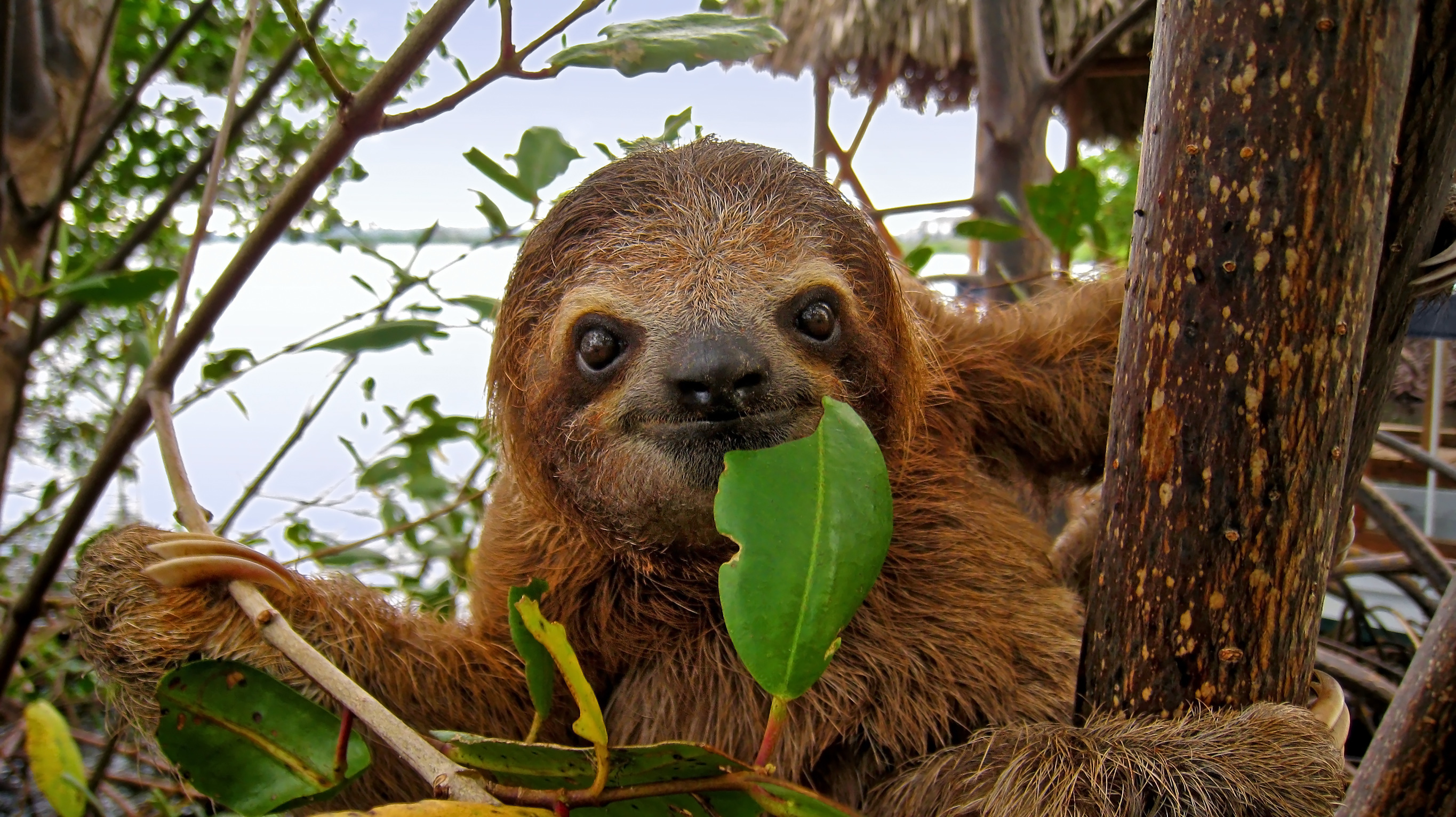 Sloth eating a leaf.