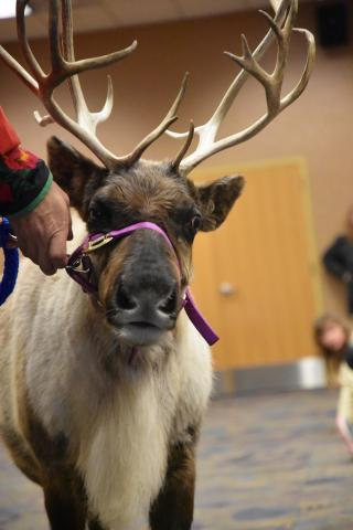 A reindeer from Silly Safaris.